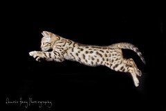 Crouching Tiger, Flying Kitten (LaurieHaagPhotography) Tags: pet cats animal cat kitten group kitty best 100 comment tigercat cutekitten flyingkitty flyingcat bengalkitten bengalcat leapingcat bengalkitty abigfave spottedkitty bestofcats 100commentgroup leapingkitty flyingkitten pouncingkitty boc0809