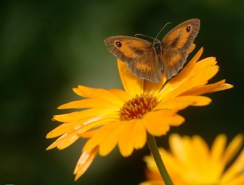 Pyronia tythonus | Oranje zandoogje (mannetje) - Gatekeeper (male)
