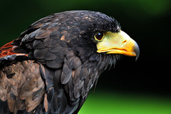Eagle (Mohamed Haykal) Tags: uk travel saint birds nikon wildlife united hill kingdom telephoto manor 500mm eagles d3x haykal