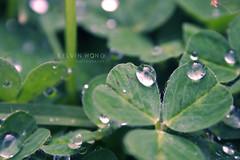 Droplets Couple (Kelvin Wong (Away)) Tags: plant macro reflection water beauty rain canon wonderful droplets leaf amazing superb australia excellent adelaide southaustralia raynox interestiness raynoxdcr250 canoneos400d canoneosrebelxti canoneoskissx kelvinwong piscesromance