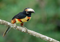 Collared Aracari (Billtacular) Tags: bird nature outdoors wildlife birding july panama birdwatching potofgold cecropia canopytower thewonderfulworldofbirds pog02birdden