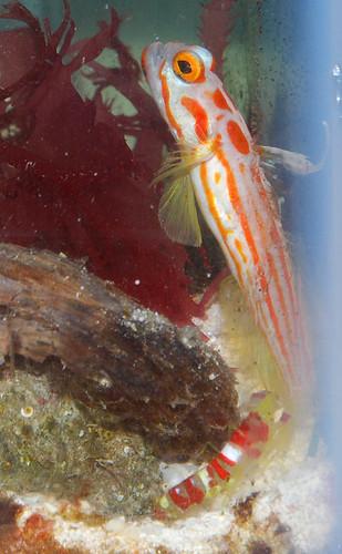 Yasha-Goby-pistol-shrimp