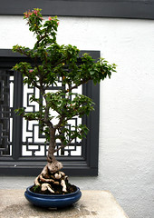 Pink pixie (quinn.anya) Tags: tree bougainvillea bonsai montrealbotanicalgarden nyctaginaceae jardinbotaniquedemontral pinkpixie bougainvilleapinkpixie