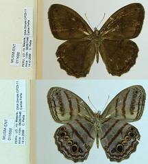Magneuptychia libye
