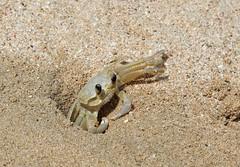Crab (John Balcombe) Tags: sand crab stlucia burrow