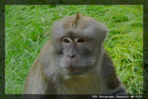 Crab-eating Macaque (Macaca fascicularis) - 馬來猴