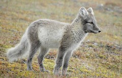 Arctic fox (Alopex lagopus) (Billy Lindblom) Tags: autumn svalbard arctic fox wildanimal arcticfox alopexlagopus lagopus vulpes specanimal vulpeslagopus olympussp590uz taxonomy:binomial=alopexlagopus billylindblom