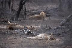 Lion, Kruger NP (ecoTravel Africa) Tags: lion krugernationalpark nightsafari southafrica2009
