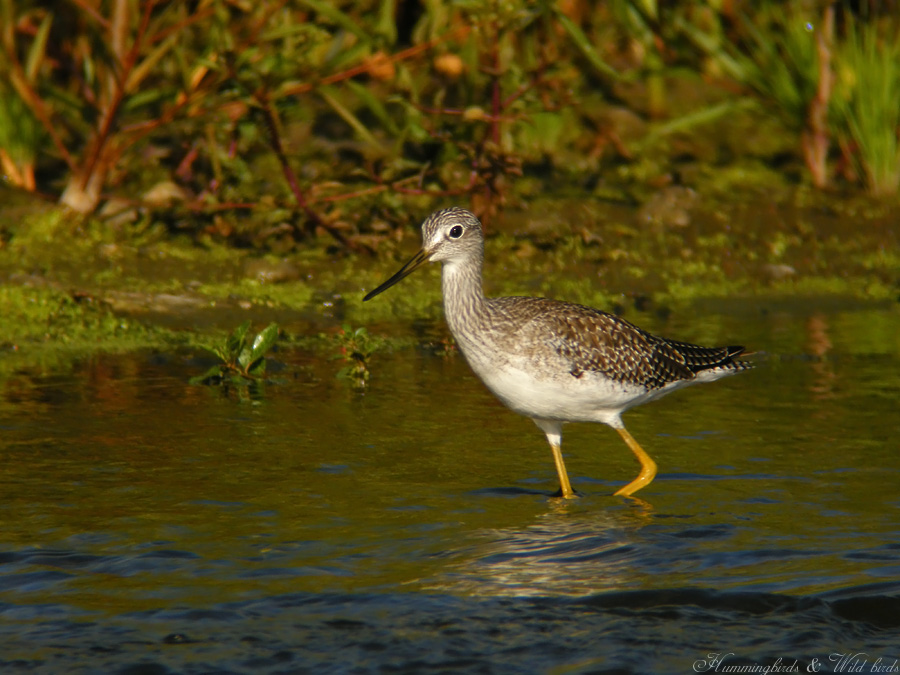 Greater Yellowlegs09095