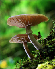 Shroom x 2 (angus clyne) Tags: light macro tree green fall forest mushrooms 50mm scotland moss stem perthshire grow scottish frond reflect bark fungus gill atumn