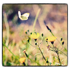 butterfly (besimo) Tags: island summer wangerooge butterfly dandelion nature framed besimmazhiqi 85mm18d f25