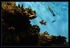 Buscando a Nemo (kgorka) Tags: barcelona canon agua nemo peces tamron payaso eos350d acuario tamronspaf1750mmf28xrdiiildasphericalif gorkabarreras