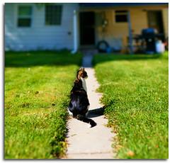 Waiting Patiently (Chad Galloway Photo) Tags: house grass cat photo colorado dof bokeh sony picture denver depthoffield sidewalk co shallow fullframe dslr a850 bokehrama bokerama brenizermethod