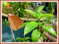 Elymnias hypermnestra agina (Common Palmfly), resting on Dwarf Yellow Mussaenda - Oct 31 2009