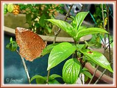 Elymnias hypermnestra agina (Common Palmfly), resting on Dwarf Yellow Mussaenda - Oct 31 2009
