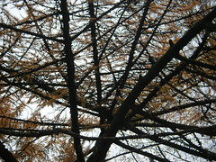 Larch (Busy_Lizzy) Tags: winter vinter larch lrk
