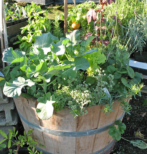 Wine barrel planted with cool-season tomatoes and other veggies and herbs