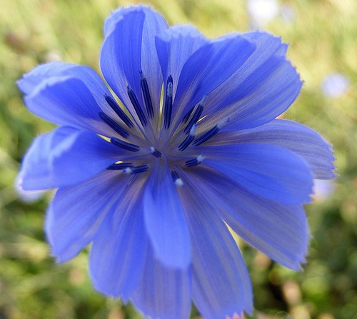 Chickory Blue