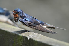 Swallow (Hirundo rustica) on a Wooden Fence Rail at Seal Sands (Steve Greaves) Tags: wood blue summer bird nature fence countryside wooden adult bokeh metallic wildlife feathers aves naturalhistory fencing perched resting swallow barnswallow avian hirundorustica plumage 2xteleconverter nikond300 globalbirdtrekkers nikonafsii400mmf28ifedlens manfrottomonopod680b
