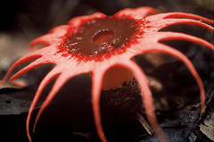Aseroe rubra, Tumpor, Cambodia (Fauna & Flora International) Tags: asia cambodia conservation fungi fungus endangered stinkhorn cardamom aseroerubra ffi cardamommountains aseroe anemonestinkhorn