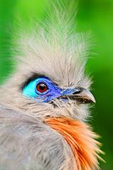 Portrait of a crested coua (Tambako the Jaguar) Tags: portrait bird closeup zoo switzerland nikon zurich creative moment zürich madagascar d300 coloful cristata masoala crestedcoua creativemoment
