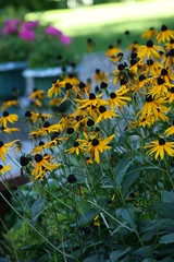 IMG_9074 (birdvoyeur) Tags: flora rudbeckia blackeyedsusan