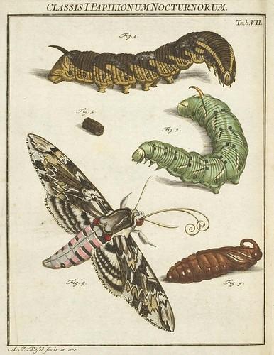 Classis I Papilionum Noctornum (Sphinx convolvule) V.1
