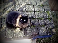 Rooftop Kitty (jody-rodgers) Tags: roof cat blackcat moss feline kitty camerabag iphone dappledlight shedroof helgaeffect winterruff izzymcfizzy