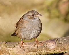 Dunnock (Andrew H Wildlife Images) Tags: bird nature wildlife dunnock warwickshire avian hedgesparrow brandonmarsh canon7d ajh2008