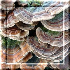 Turkey tails... (Chilliwack Jack) Tags: winter macro nature mushroom beautiful turkey tail shroom mothernature mushi chilliwack cjack clubtread vedderriver veddertrail chilliwackjack okjack vedderdike