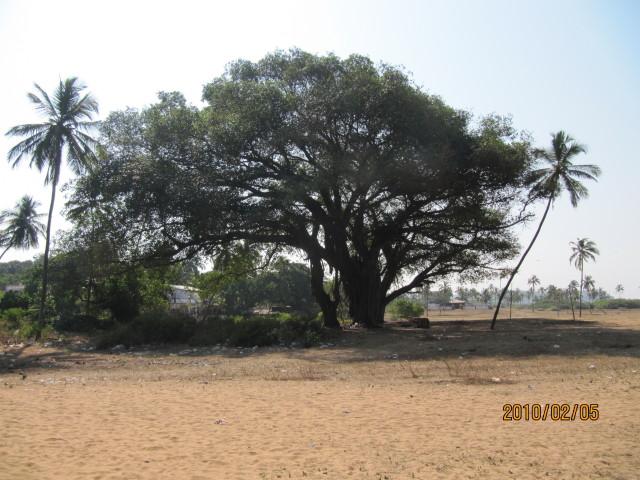 india goa ficus banyan peral banyantree candolim indianfig ficusbengalensis indianbanyan ficusbenghalensis bengalfig eastindianfig borh nyagrodha