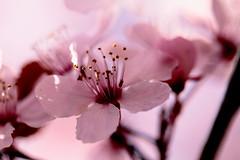 Dreamy Plum Blossoms (Janine Graf) Tags: flowers tree canon bokeh blos