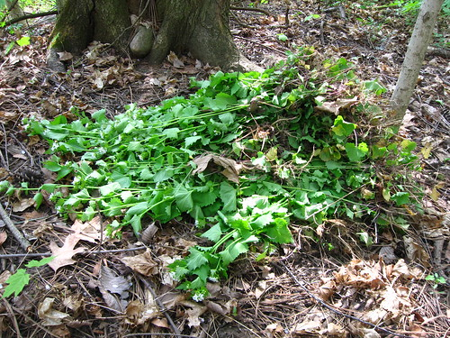 Damnable garlic mustard