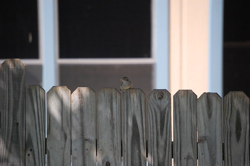 baby sparrow on the fence