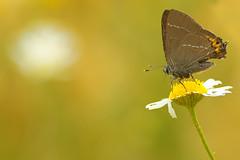 brown (zoomyboy.com) Tags: macro butterfly bokeh makro schmetterling tokinaatx90mm25 lumixg2