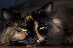Sleepy Head (Unintended_Keith) Tags: sleepy cat feline female cute soft closeup canon1dx sigma180mmf28apomacroexdgoshsm bounceflash