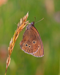 Ringlet Butterfly at Draycote (Andrew Haynes Wildlife Images) Tags: sigma70mmmacro draycotemeadows