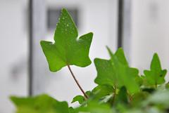 Efeu im Regen (Chaossista) Tags: green rain grn waterdrops regen wassertropfen efeu nikond90