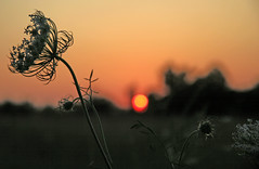 Queen Anne's Silhouette (mambolou) Tags: dru sunset flower field silhouette weed kevin dof sundown bokeh like july it missouri queenanneslace mmmi selectiveconceptualdof bokehphotography mambolou