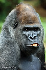 Baraka (Leffson Photography) Tags: nature zoo washingtondc gorilla wildlife nationalzoo fonz silverback baraka silverbackgorilla greatapes lowlandgorilla canon70200mmf28l allrightsreserved canonxti concordians marleneleffson leffsonphotography marleneleffson allrightsreservedmarleneleffson