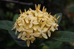 IMG_2640 (2) (jozef muylle) Tags: flowers philippines natuur bloemen filippijnen