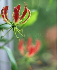 a study of Gloriosa rothschildiana [3] (_nejire_) Tags: plant flower flora f14 explore 441 gloriosa gloriosalily carlzeiss naturesfinest firelily 430pm 10faves 25faves flamelily gloriosarothschildiana nejire glorylily climbinglily canoneos400d fave10 planart50mm creepinglily mhashi superblily fave25 carlzeissplanart1450ze nejireingpetals 10426529g3pm1august no364