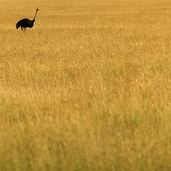 Ostrich in savannah - Kenya (Eric Lafforgue) Tags: africa kenya culture tribal ostrich tribes afrika tradition tribe ethnic kenia tribo autruche afrique ethnology tribu eastafrica 592 qunia lafforgue ethnie  qunia    kea    a