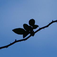 Rose on sky