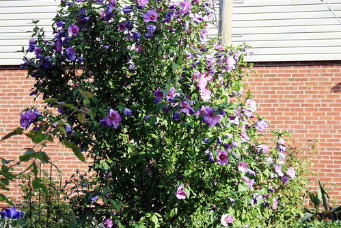 Rose of Sharon tree - blooming