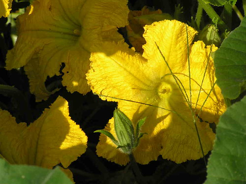 Squash Blossoms Below in my SMall Kitchen Garden