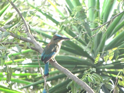 Aves de El Salvador. Torogoz ó Talapo.