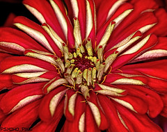 Zinger of a Zinnia (psycho_pixie) Tags: red flora 360 zinnia topaz 240365 project36612009 28aug2009