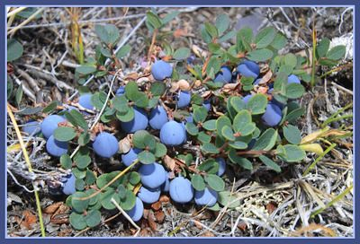 Wild Blueberries by Clare Kines, blogger