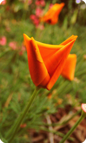 the tiny carrot top